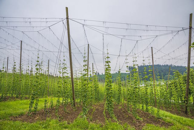 Photo d'un champ de houblon en Alsace